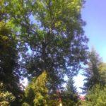 Rizikové kácení stromů a péče o stromy rostoucí mimo les